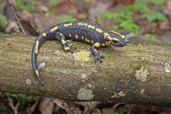 Salamandra salamandra, Salamandre tachetée. (PNRFO)