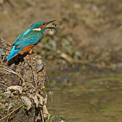 Martin-pêcheur d'Europe, Alcedo atthis. (Lac du temple).