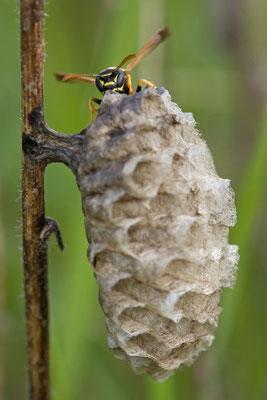 Guèpe poliste, Polistes nimpha. (Dierrey-Saint-Julien)
