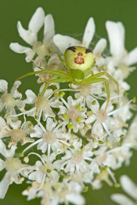 Ebrechtella tricuspidata. (Villemaur-sur-Vannes)