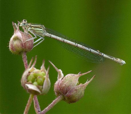 Agrion à larges pattes, Platycnemis pennipes. (Villemaur-sur-Vannes)