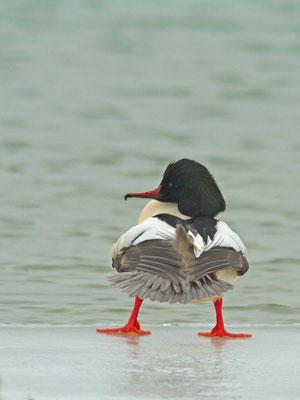 Harle bièvre, Mergus merganser.  (Lac d'Orient)