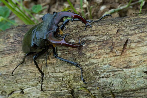 Lucane cerf-volant, Lucanus cervus. (Spoy)