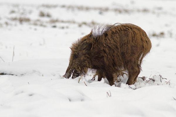 Sanglier dans la neige, sus scrofa. (Parc naturel régional de la forêt d'Orient)