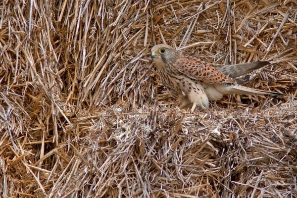 Faucon crécerelle, Falco tinnunculus. (Dierrey-Saint-Pierre)