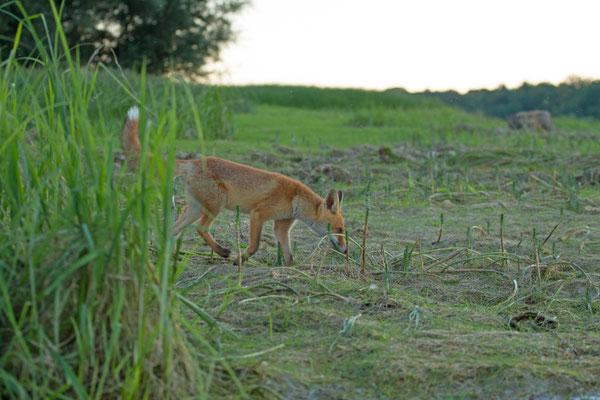 Renard Roux, Vulpes vulpes. (Lac du temple)