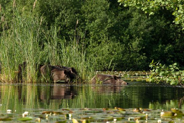 Sangliers, Sus scrofa. Affût flottant. (Parc naturel régional de la forêt d'Orient)