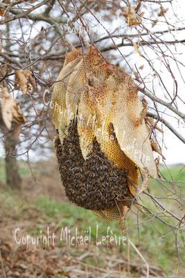 Essaim d'abeilles domestiques sur une charmille. (Haute-Marne).