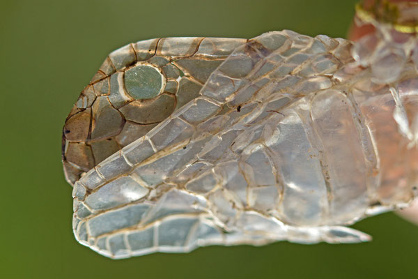 Mue de couleuvre à collier, Natrix natrix. (Lac du temple, étang de Frouasse)