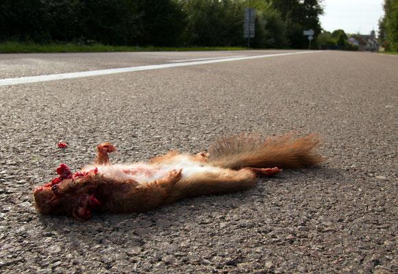 Ecureuil victime de la circulation. (Arcis-sur-Aube).