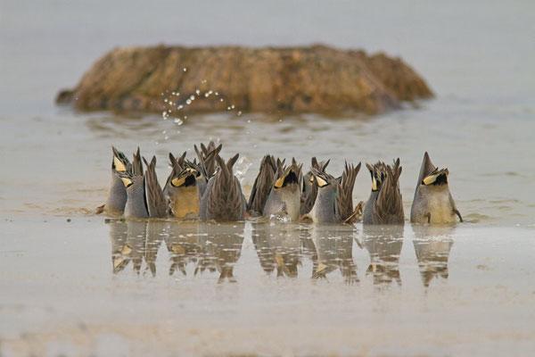 Sarcelle d'hiver, Anas crecca.  (Lac d'Orient)