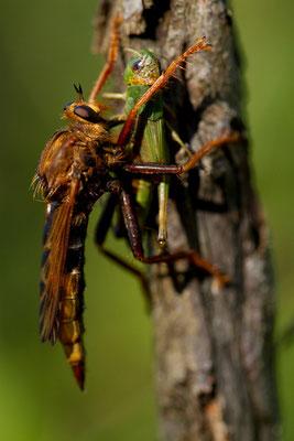 Asilidae capturant un orthoptère. (Coucelles sur aujon,52).