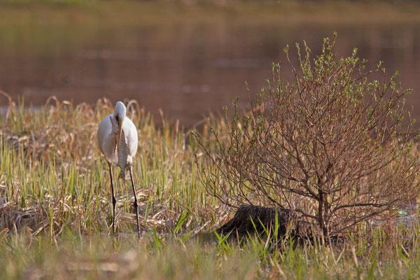 Grande Aigrette, Ardea alba et brochet.(Parc naturel régional de la forêt d'Orient)