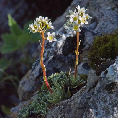 Trauben-Steinbrech Saxifraga paniculata                                                                     Foto: Marianne Schenk