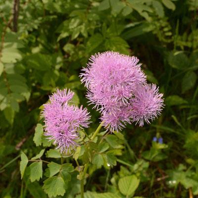 Akeleiblättrige Wiesenraute Thalictrum aquilegiifolium                                     Foto: Marianne Schenk
