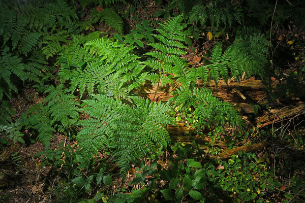 Breiter Wurmfarn Dryopteris dilatata   Foto: Marianne Schenk