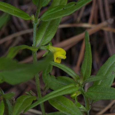 Wald-Wachtelweizen  Melampyrum sylvaticum                                                           Foto: Marianne Schenk
