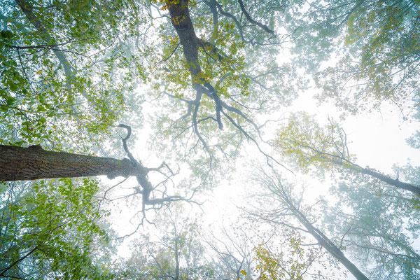 Baumkronen im Nebel in der Heide