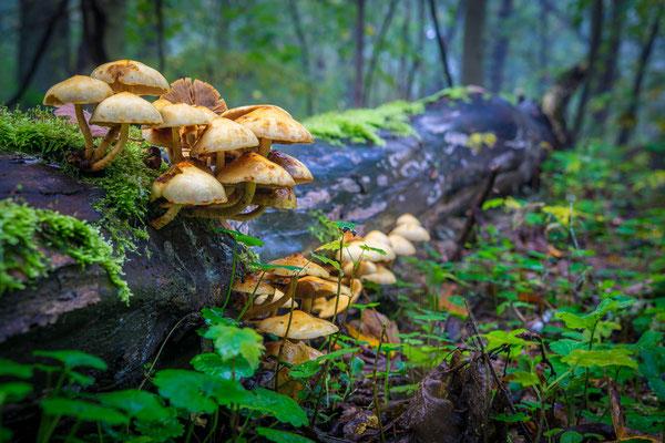 Pilze auf Totholz in der Heide
