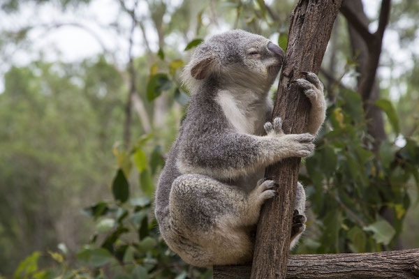 Brisbane Reisetipps Lone Pine Sanctuary