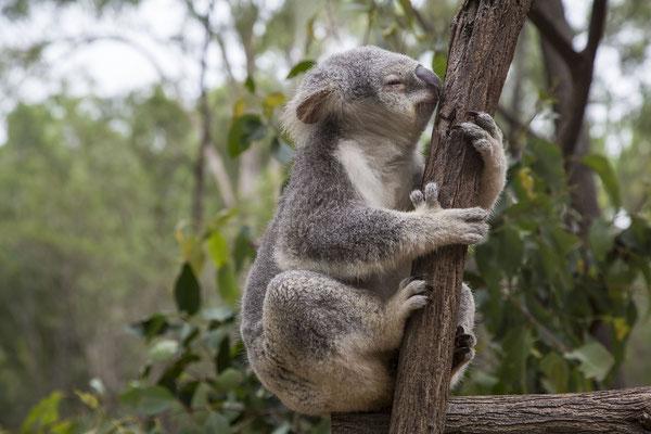 Reiseführer Brisbane Lone Pine Sanctuary