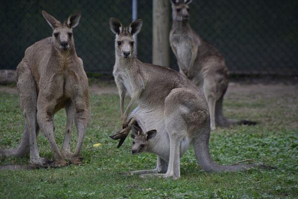 Brisbane Insider Tipps Lone Pine Sanctuary