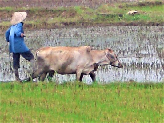 Hoi An Vietnam Sehenswürdigkeiten - Reisanbau mit Ochsen