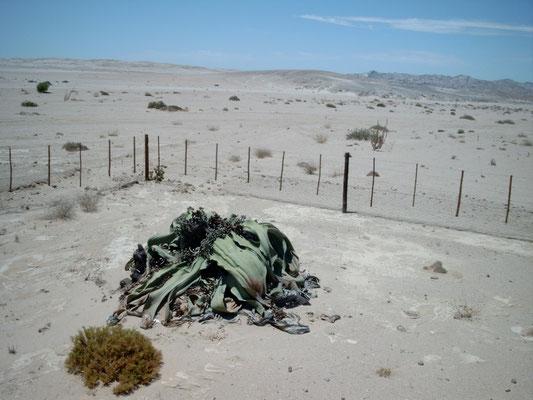 Swakopmund Blog Welwitschia Mirabilis