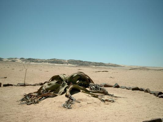 Swakopmund Tipps Welwitschia Mirabilis
