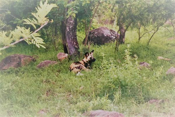 Krüger Nationalpark selbstfahren: Wildhund sind schwer zu finden