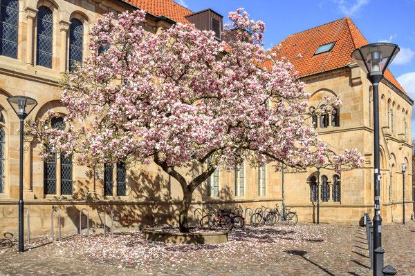 Osnabrück - Magnolienblüte am Dom