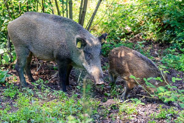 Wildschweine in den Meller Bergen