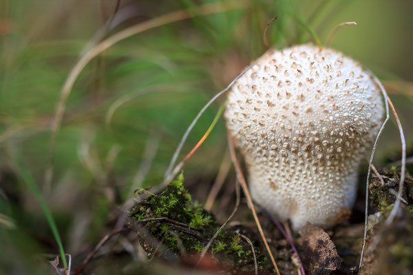 Pilz in den Meller Bergen