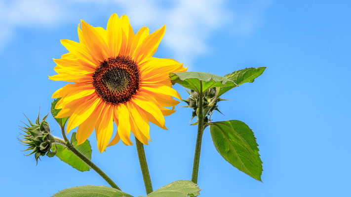Sonnenblume im Botanischen Garten Osnabrück