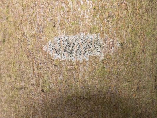 Arthonia radiata - Strahlige Fleckflechte