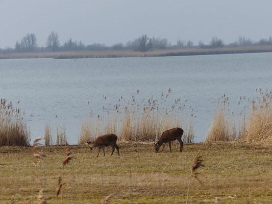 Rothirsche am Naturschutzgebiet Oosvardersplassen