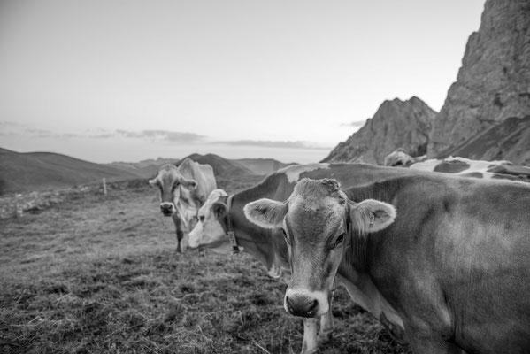 Kühe warten aufs Melken