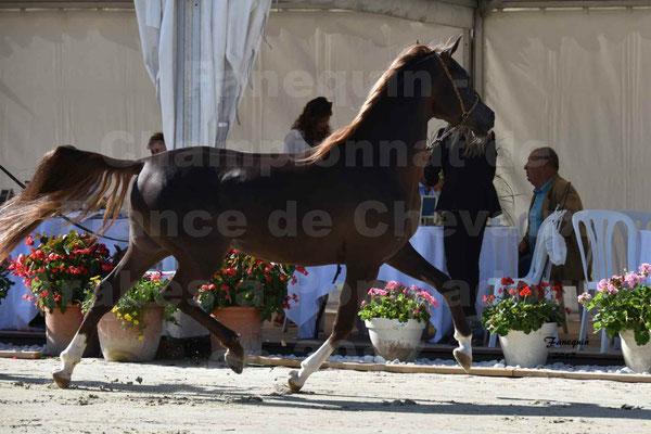 Championnat de France de Chevaux ARABES à Pompadour en 2017 - Notre Sélection - AVALON DALANN - 23