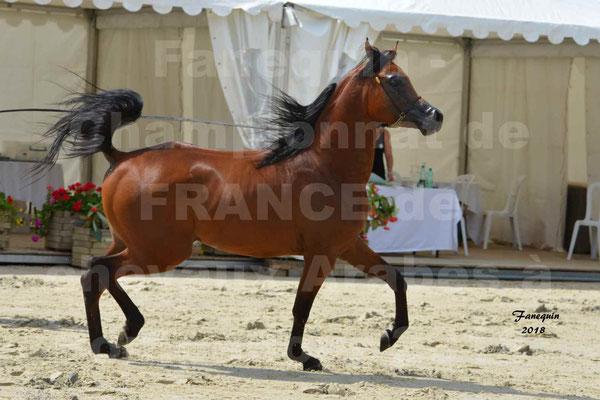 Championnat de FRANCE de chevaux Arabes à Pompadour en 2018 - LAZEEZ AL SHAHANIA - 10
