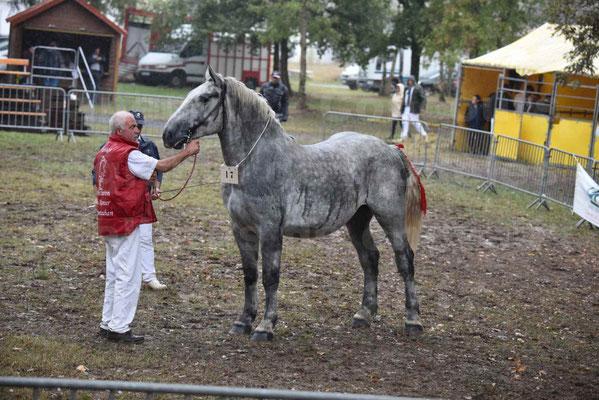 Concours Régional de chevaux de traits en 2017 - Trait PERCHERON - FRIANDISE DU RAMIER - 4