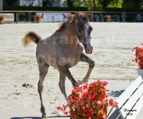 Championnat de FRANCE de chevaux Arabes à Pompadour en 2018 - SAÏFA - 4