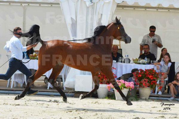 Championnat de FRANCE de chevaux Arabes à Pompadour en 2018 - LAZEEZ AL SHAHANIA - 01