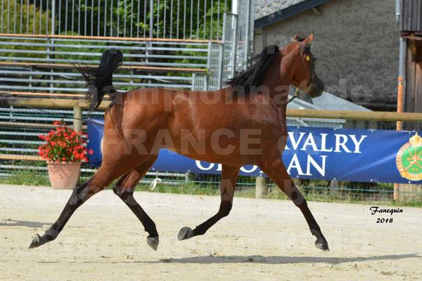 Championnat de FRANCE de chevaux Arabes à Pompadour en 2018 - LAZEEZ AL SHAHANIA - 12