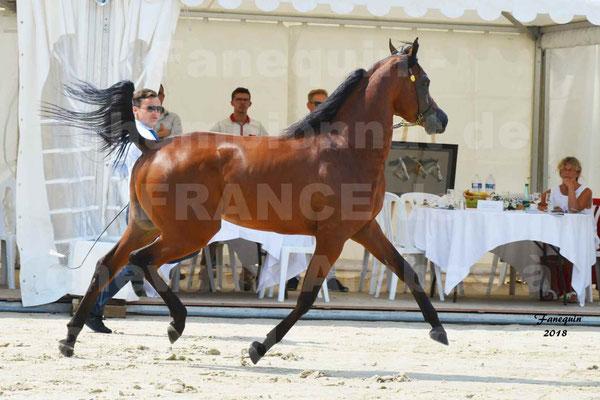 Championnat de FRANCE de chevaux Arabes à Pompadour en 2018 - LAZEEZ AL SHAHANIA - 03
