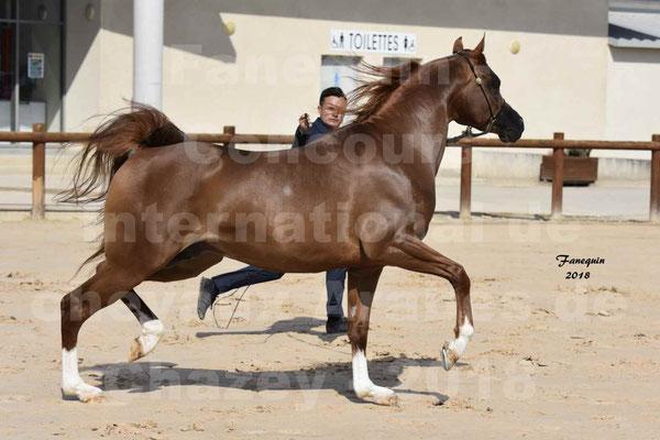 Concours Européens de chevaux ARABES à Chazey sur Ain les 11 & 12 Mai 2018 - JAHAMAL DE CARTHEREY