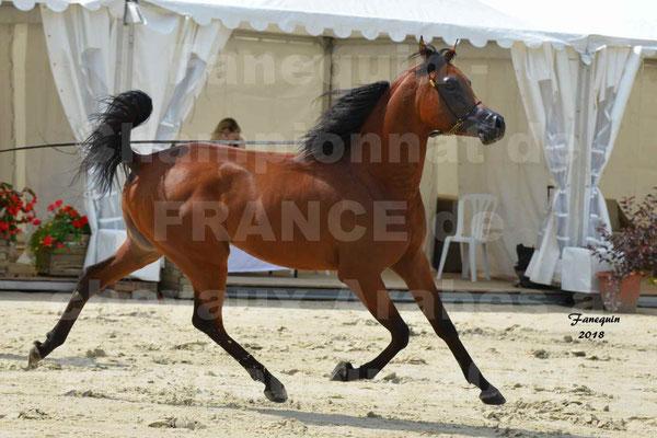 Championnat de FRANCE de chevaux Arabes à Pompadour en 2018 - LAZEEZ AL SHAHANIA - 11