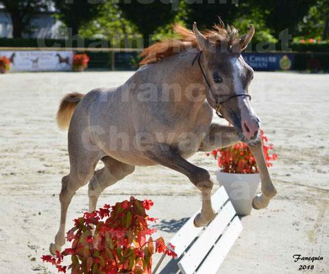 Championnat de FRANCE de chevaux Arabes à Pompadour en 2018 - SAÏFA - 5