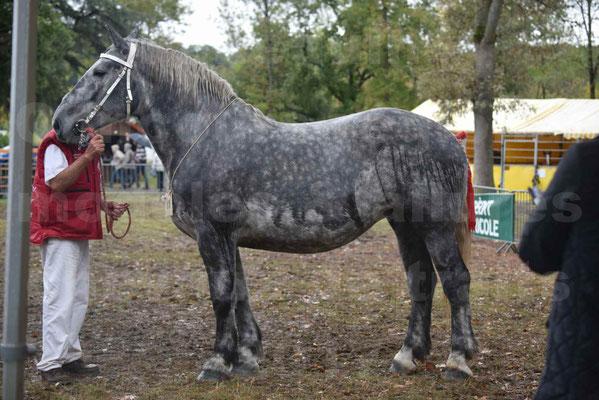 Concours Régional de chevaux de traits en 2017 - Pouliche Trait PERCHERON - ÉCAILLE DU RAMIER - 03