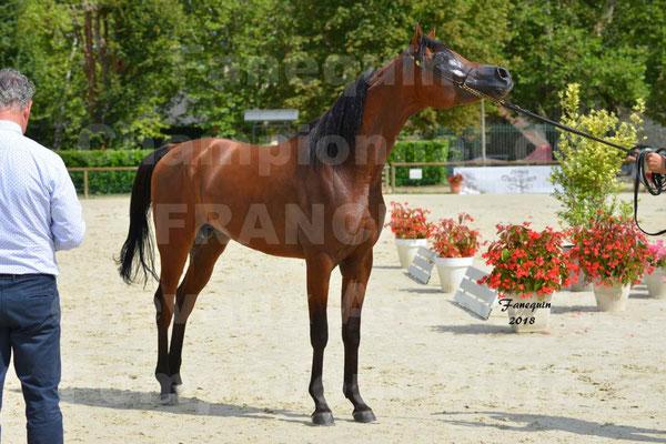 Championnat de FRANCE de chevaux Arabes à Pompadour en 2018 - LAZEEZ AL SHAHANIA - 24