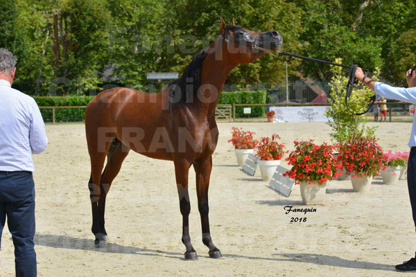 Championnat de FRANCE de chevaux Arabes à Pompadour en 2018 - LAZEEZ AL SHAHANIA - 23